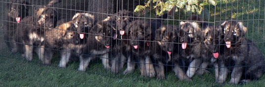 Guardian Kennels - ISSR Shiloh Shepherds For Sale. Vanessa & Ian Dutton, Brooks, Alberta Canada